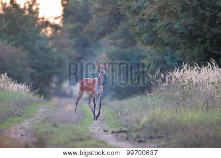 Hind (deer) In Forest