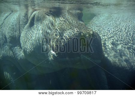 Under water hippopotamus