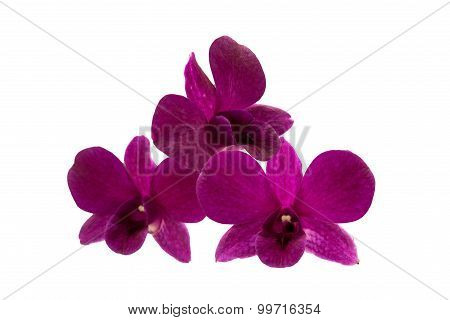 Isolated Purple Orchid