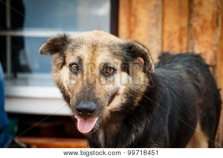 Brown And Black Color Thai Homeless Dog