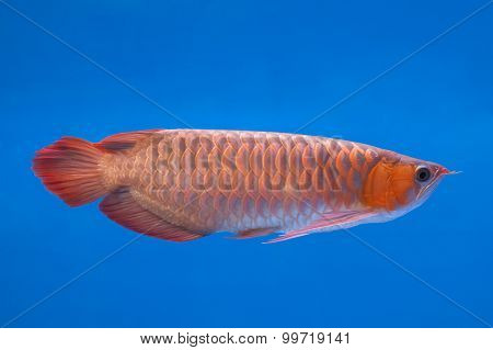 Asian Arowana Red Fish