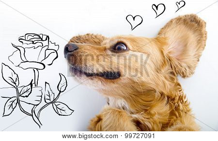 Cute English Cocker Spaniel puppy in front of a white background smelling rose sketch