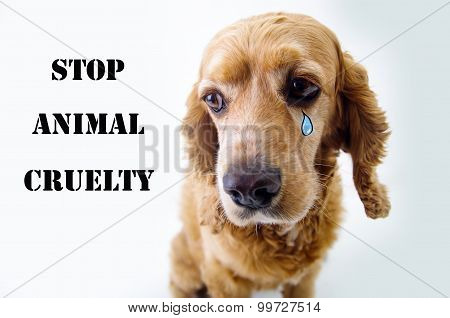 Cute sad English Cocker Spaniel puppy in front of a white background with tear sketch and stop anima