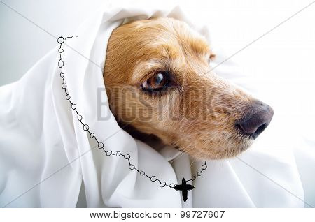 Cute religious thoughtful English Cocker Spaniel puppy in front of a white background with cape and