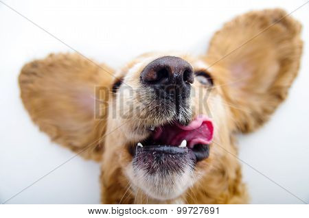 Cute English Cocker Spaniel puppy with tongue out and perky ears in front of a white background