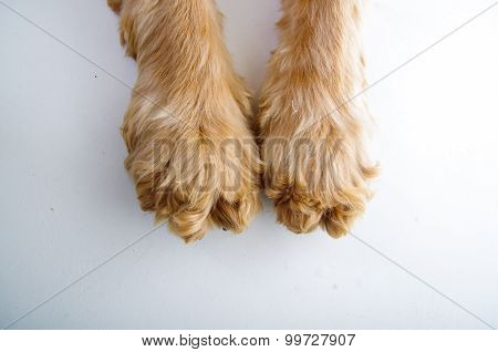 Cute English Cocker Spaniel puppy paws in front of a white background
