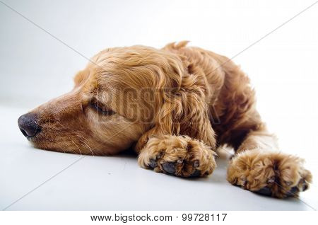 Cute English Cocker Spaniel puppy lying and relaxing in front of a white background