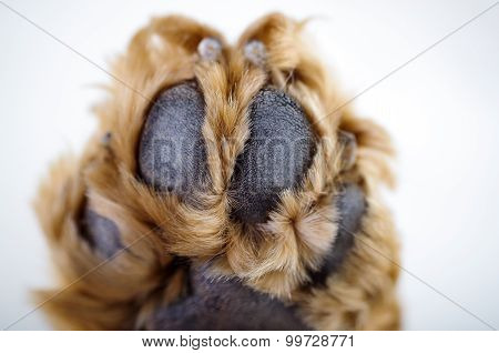 Cute English Cocker Spaniel puppy in front of a white background paw closeup