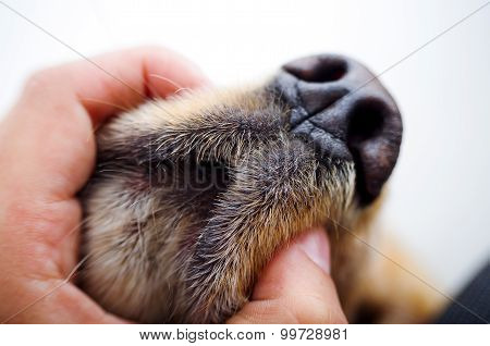 Cute English Cocker Spaniel puppy in front of a white background closeup to hand holding dogs mouth