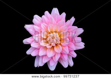 beautiful floral  pink Dahlia flower on black background