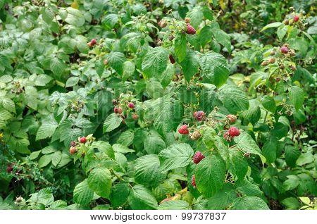 Wild Raspberry Plantation