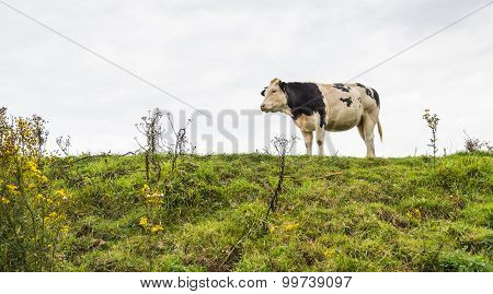 Black And White Cow On Top Of A Dike