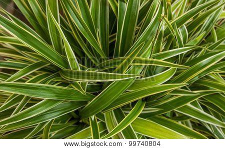 Cholorophytum comosum on background.