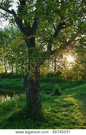 Walnut tree in the sunset.