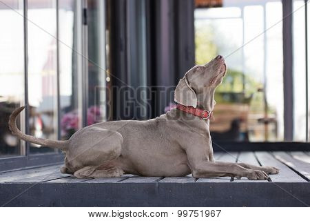 adorable weimaraner dog portrait
