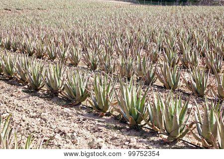 Aloe Vera: plantation of medicinal aloe vera in the farm