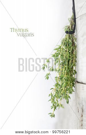 Fresh Green Thyme, Thymus Vulgaris, Hanging To Dry On A Bright Wooden Wall