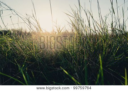 Field of dry wild weed backlit with warm setting sun