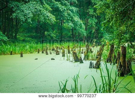 Stumps In The Forest Swamp