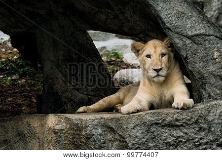 Lioness resting in the cave