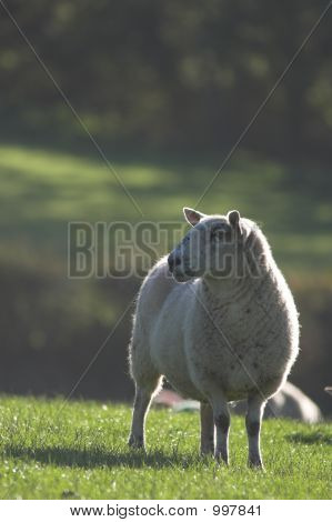 Grazing Sheep On Dewy Grass