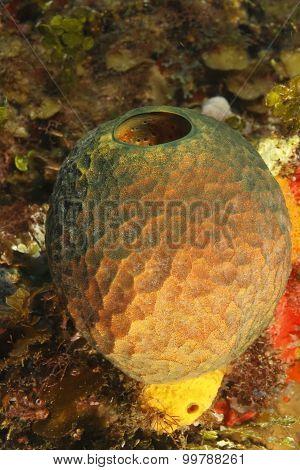 Yellow Tube Sponge - Bonaire, Netherlands Antilles