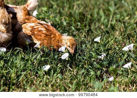 free range chicken picking grass in garden