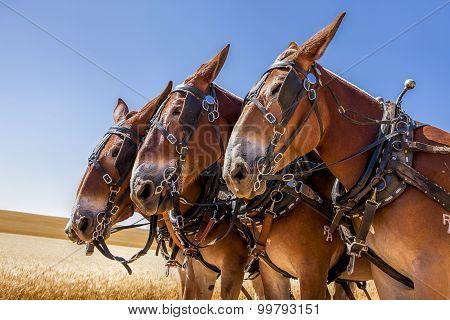 Three majestic horses.