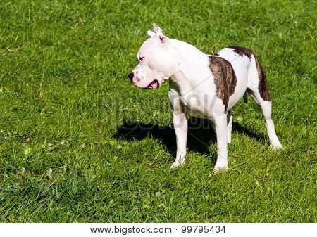American Staffordshire Terrier plays.