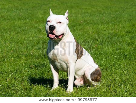 The American Staffordshire Terrier waits.