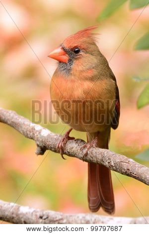 Female Cardinal bird on branch in autumn with colorful leaves