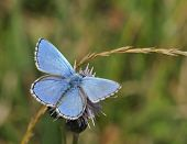 stock photo of adonis  - Adonis Blue Butterfly - Lysandra bellargus
