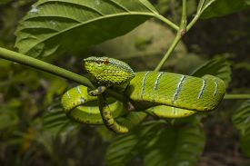 picture of green snake  - Borneo Pit Viper  - JPG