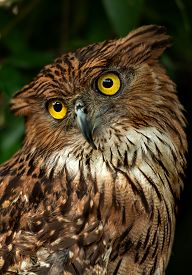 stock photo of owls  - Great Horned Owl Also Known as the Tiger Owl Closeup Photo - JPG