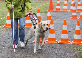 stock photo of seeing eye dog  - A blind person is led by her golden retriever guide dog during the last training for the dog. The dogs are undergoing various trainings before finally given to the physically disabled people.