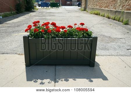 Red Geraniums in Downtown Lockport