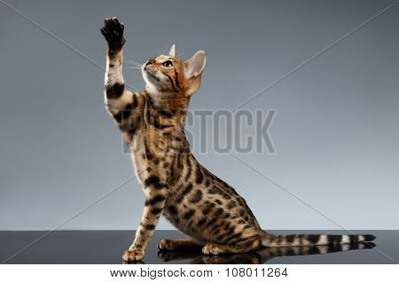 Bengal Kitty Sits And Raising Up Paw On Dark