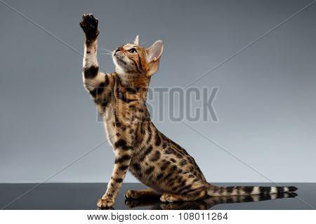 Bengal Kitty Sits And Raising Up Paw On Dark