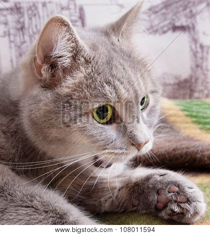 The Gray Cat With Green Eyes Slightly Opened A Mouth And Looks Afar, The Head Close Up