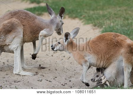 Red kangaroo or Macropus rufus family with joey  baby kangaroo carried in female pouch