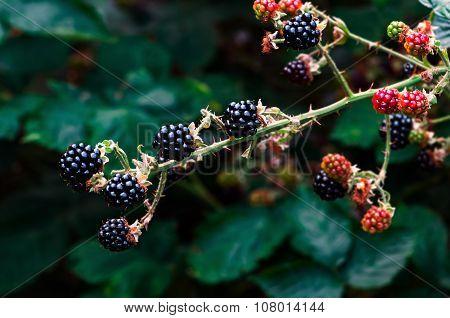 Ripe blackberries bramble berries on the bush gardening
