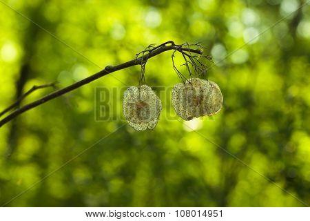 Elm Seeds In Spring Forest
