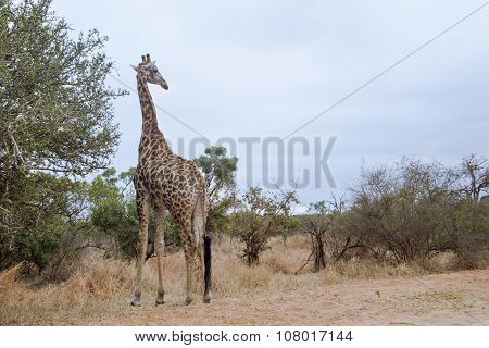 wild giraffe In Kruger National Park