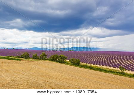 Typical Landscape Of Lavender Fields Provence, France