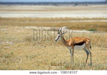 Isolated Springbok in Etosha National Park