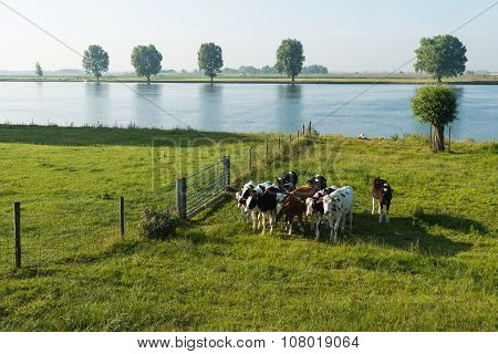 Young Cows On The Floodplain Of A River