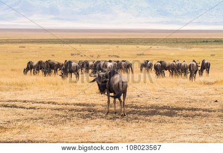 Blue wildebeests in Ngorongoro Crater