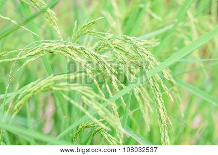 Growth Paddy Rice In Rice Fields