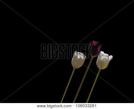Three tulips leaning