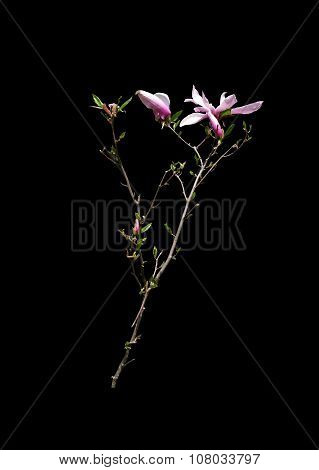 Magnolia branch with flowers and leaves